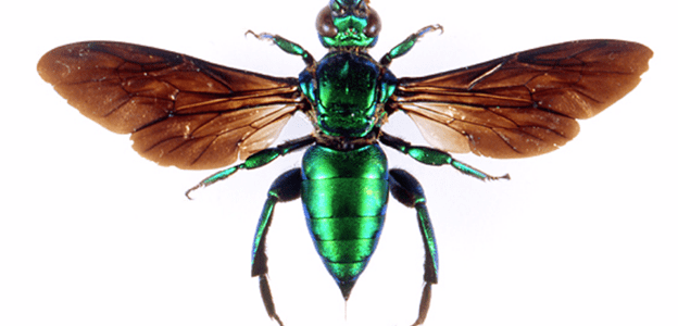 Orchid Bees:  The Little Things In Life