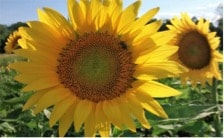 Sunflower Pollen May Boost Honey Bee Health