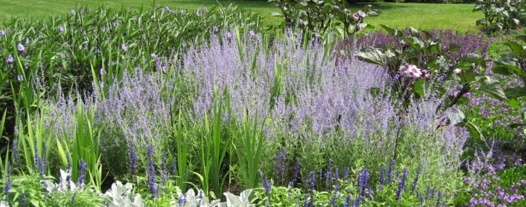 July Honey Bee Power Plant: Russian Sage