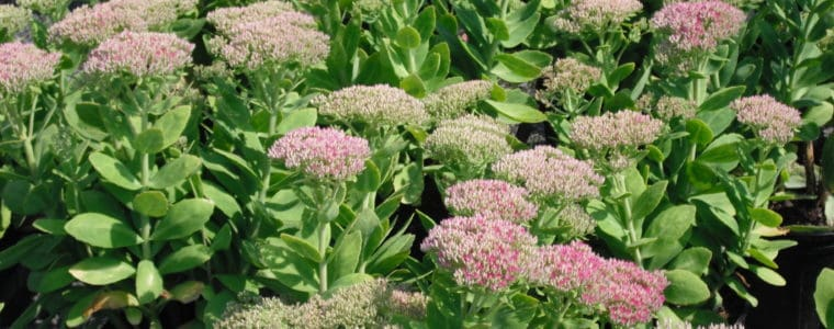 September Honey Bee Power Plant – Stonecrop