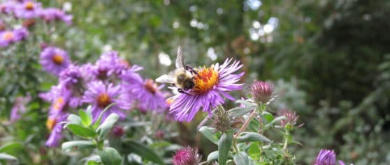 October Honey Bee Power Plant – Asters